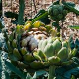 160x160 Growing Artichokes
