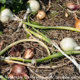 160x160 Growing Onions: freshly dug onions drying on the ground