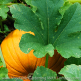 Growing pumpkins is easy, but they need heat, space and ample water.