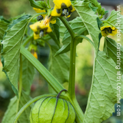 Growing tomatillos requires more than one plant for pollination
