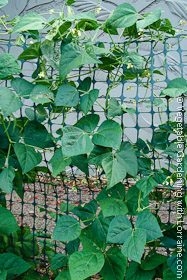 Green Snow Fence Bean Trellis