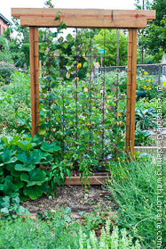 Sturdy Garden Trellis Made of Cedar and Concrete Reinforcing Wire