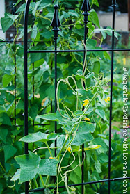 Beans on Wrought-Iron Trellis