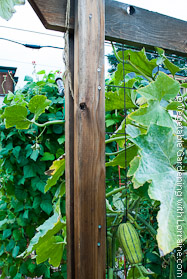 Squash? or Melon? on Cedar Trellis at Season's End