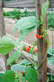 Wood lattice bean trellis with scarlet runner beans