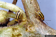 192x128 Striped Cucumber Beetle (Clemson University - USDA Cooperative Extension Slide Series, Bugwood.org)