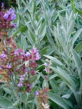 Sage in Flower