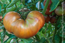 Go to Growing Tomatoes
