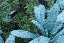 Russian and Lacinato Kale