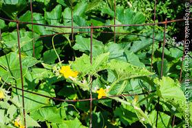 Garden Trellis of Concrete Reinforcing Wire