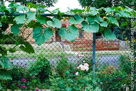 Garden Trellis: Winter Squash on Chainlink Fence