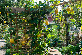 Vegetable Trellis with Airborne Winter Squash
