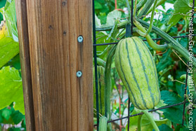 Vegetable Trellis: Is It a Melon or a Squash?