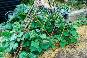 Expanding Bamboo Teepee Trellis