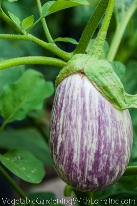 Purple Striped Eggplant
