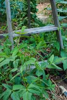 Growing Green Beans Up An Old Wooden Ladder