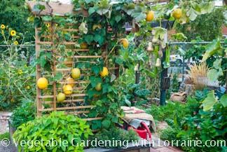 Growing winter squash on trellises in a small, raised bed vegetable garden.
