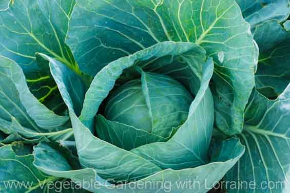 Growing cabbage almost ready to harvest