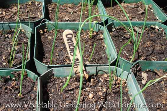 Growing onions from seed gives you a choice of varieties