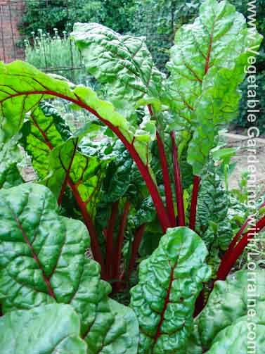 growing red swiss chard
