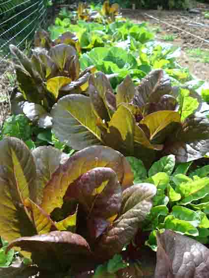 Mixed Lettuce Bed