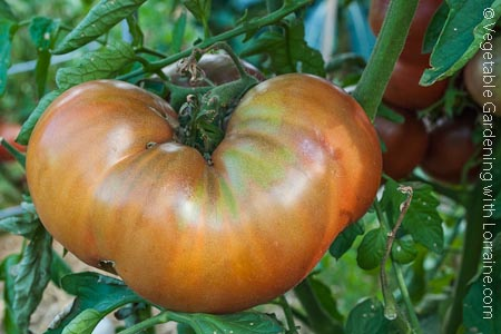 A ripening Brandywine tomato: the queen of the heirloom tomatoes