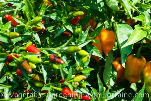 Thai and habañero peppers