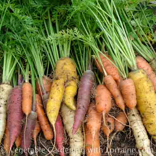 566x566 Carnival Blend of Heirloom Carrots