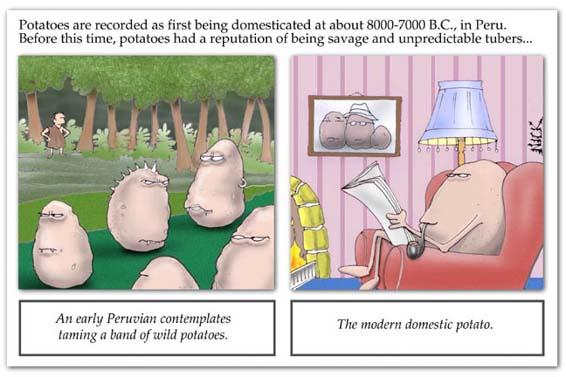 Peruvians domesticate the wild potato