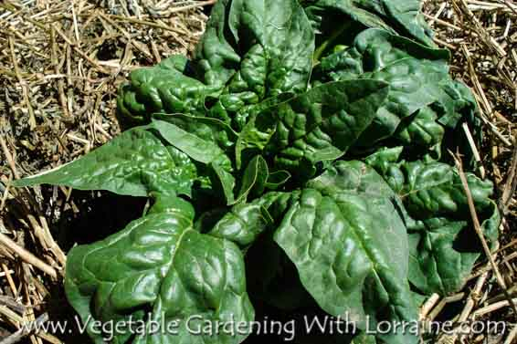 Growing spinach, mulched with alfalfa hay