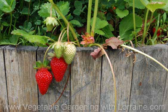 growing strawberries in a whiskey barrel