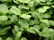 Sunflower shoots are everyone's favorite