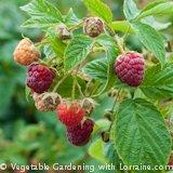 Growing raspberries ready-to-eat