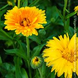 Growing Calendula