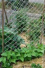 Bean Trellis Of Wood Stakes And Wire Mesh