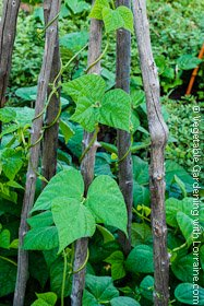 Bean Trellis Teepee of Natural Branches