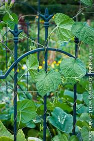 Green Wrought Iron Bean Trellis