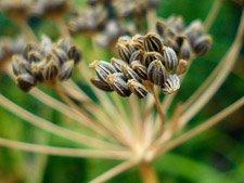 Dried Cilantro Seeds = Coriande