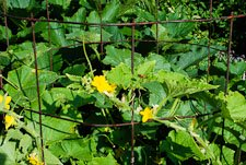Easy and Cheap Cucumber Trellis Cage