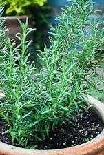A Pot of Rosemary