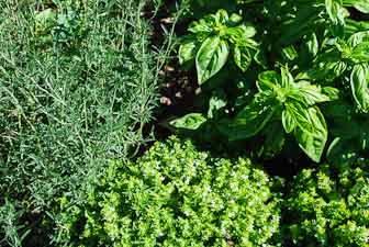 Savory, Basil and Thyme