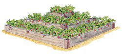 About Growing Strawberries