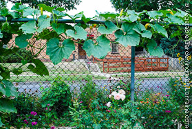 Garden Trellis: Winter Squash on Chainlink Fence