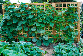 Cedar Garden Trellis Loaded with Melons at End of Season