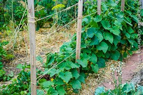 Cucumber Trellis of 2x2s and String