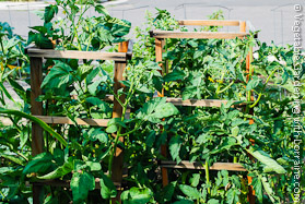 Vegetable Trellis Made of 2x2s and 1x2s