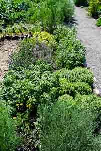 Mixed Herb Garden