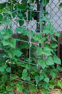 Growing Green Beans Up a Square Cage