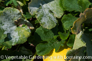 Powdery mildew on winter squash