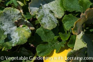 Powdery mildew on winter squash